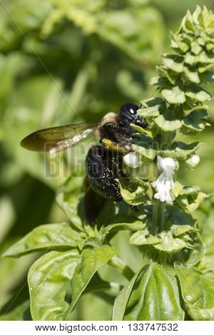 Yellow and Black Bumblebee Pollinating Common Basil