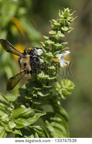 Bumble Bee Bombus Pollinating Common Basil Blossoms