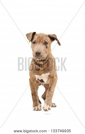 Portrait of a pit bull puppy walking isolated on white background
