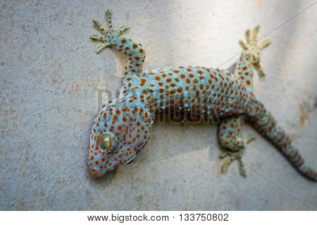one gecko on house concrete wall, normal animal on house