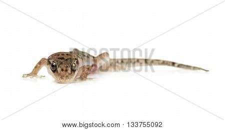 Brown Spotted Gecko Reptile Isolated