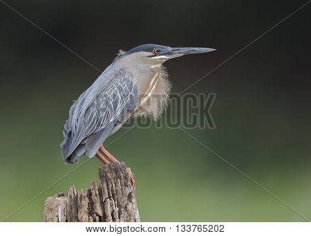 Striated Heron Perched On A Stump - Panama