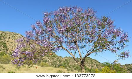 Flowering Jacaranda Tree
