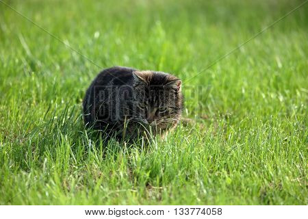 A Wild Domestic Cat is hunting mice in the field