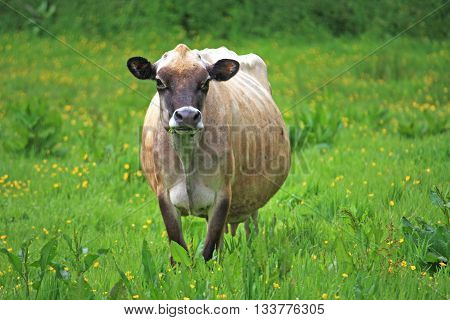 Cow standing in a field of buttercups