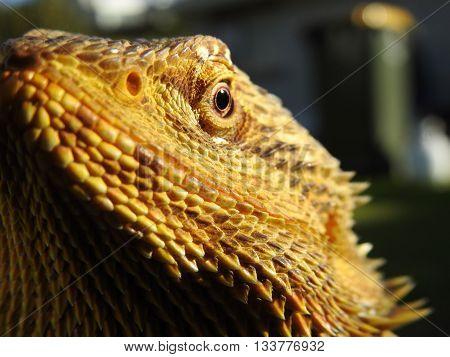 Bearded Dragon Lizard Basking in the Sun