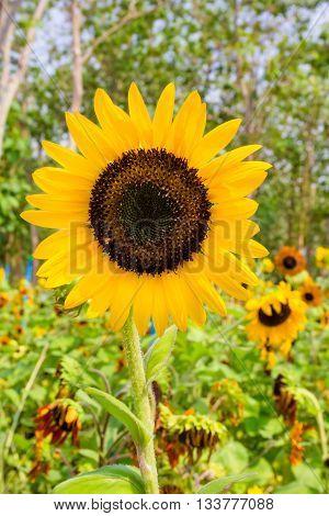 Sunflower with perennial plant background in garden.