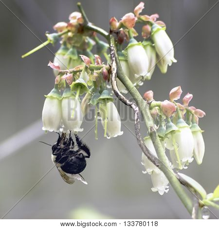 A bee gathers nectar from blossoms on a blueberry bush