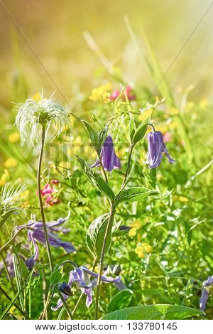 Beautiful purple flowers in meadow lit by sun rays - beautiful meadow in spring