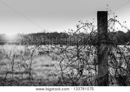Black and white image of a barbed wire fence with sunburst
