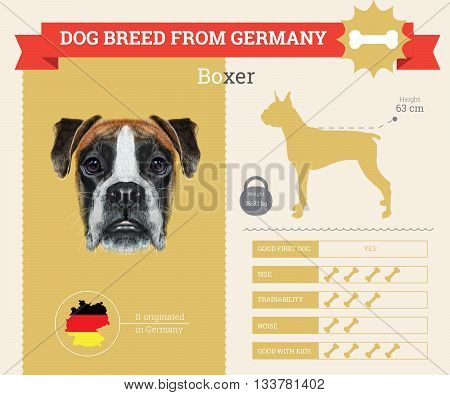 Boxer Dog breed vector infographics. This dog breed from Germany