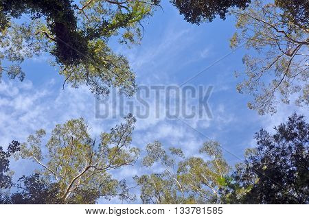 Looking up to the blue sky through the towering tall trees of an Australian temperate rain forest (rainforest) canopy