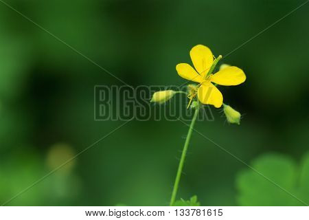 Yellow flower of greater celandine over green background