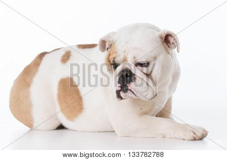 english bulldog female laying down isolated on white background