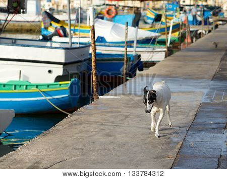 Street dog in Marsaxlokk village, Malta. Domestic animal in the street. Marsaxlokk, Malta, Europe, sunday market in Marsaxlokk, fisherman village in Malta