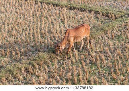 cow eating grass in rice field of farm agriculture livestock