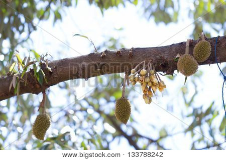 Flowers And Young Raw Durain With Brown Spikes On Tree