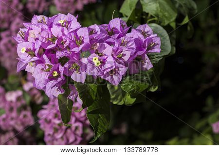 Bunch Of Flowers Of Bougainvillea