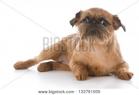 brussels griffon puppy laying down on white background