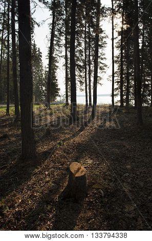 Sunlight just coming through the trees in Saskatchewan Canada