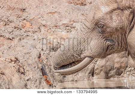 Close-up of an African Elephant Loxodonta africana enjoying a bath in a muddy dam