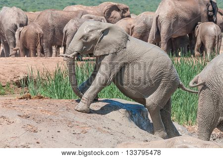 A wet mud covered African Elephant calf Loxodonta africana trying to climb out of a muddy dam