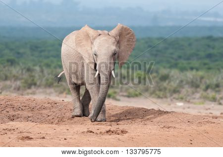 A young adult African Elephant Loxodonta africana walking