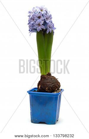 blue flower hyacinth in a pot isolated on white background