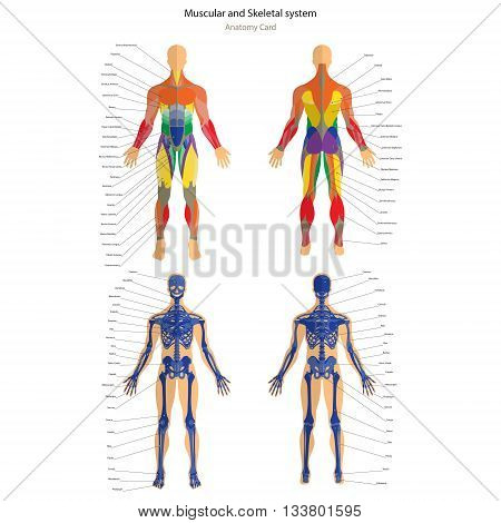 Anatomy guide. Male skeleton and muscular system with explanations. Front and back view. Vector Illustration.