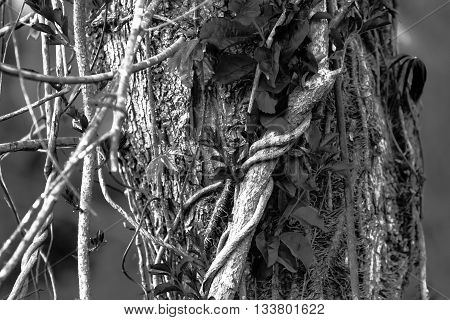 close up of vines growing on a tree