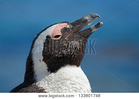 Portrait of an African penguin (Spheniscus demersus), Western Cape, South Africa