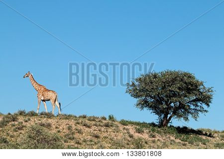 A giraffe (Giraffa camelopardalis) and a thorn tree, Kalahari desert, South Africa