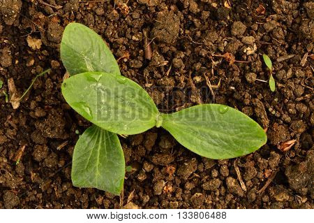Vegetable marrows culture young sprouts early summer