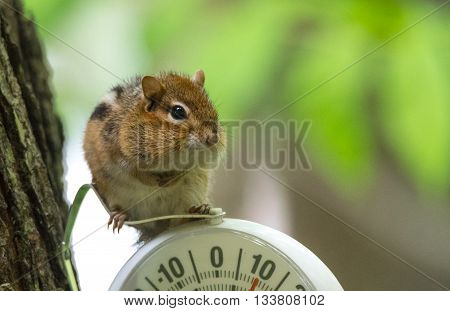 A curious chipmunk (tamias) sits up on top of dial indicator in cool shade.  Small squirrel paused on an outdoor thermometer.