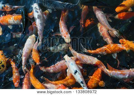 The colorful koi fish farming in ponds.