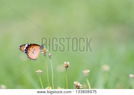 Close Up Butterfly On Flower.coatbuttons. Mexican Daisy. Monarch Butterfly.