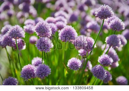 Flowering Chives. A field of chives with flower tops.