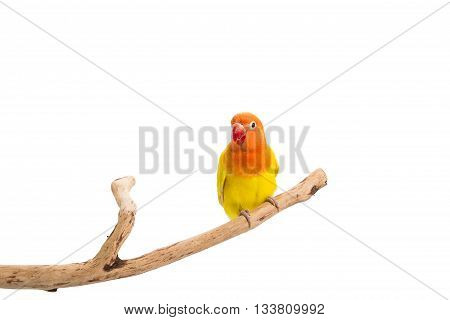 Double Yellow Lovebird