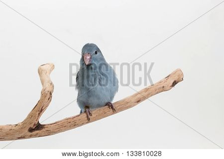 A Mauve Forpus Chick on White Background