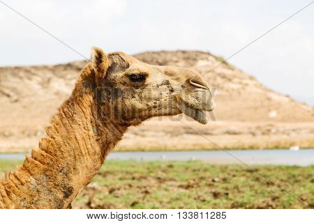 In Oman Camel  Empty Quarter Of Desert A Free Dromedary Near The  Sea