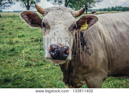 Jaczew Poland - June 22 2015. Cow in a pasture near small village Jaczew in Mazovia region