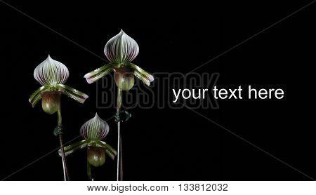The Paphiopedilum Hennissianum orchid on black background.