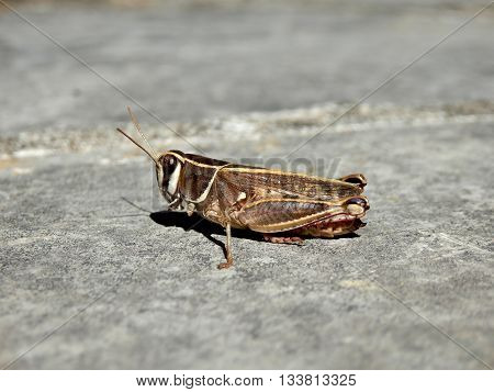 Two Striped or Yellow striped Grasshopper (Melanoplus bivittatus).
