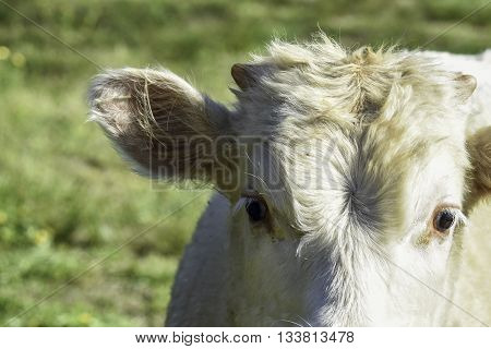 Top half of the head of a young white calf