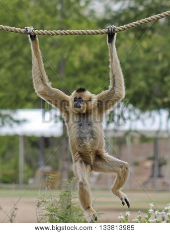 A Light Brown Gibbon Genus Hylobates Hangs from a Rope