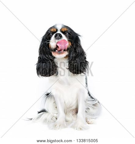 portrait of cute cavalier spaniel isolated on white background copy space