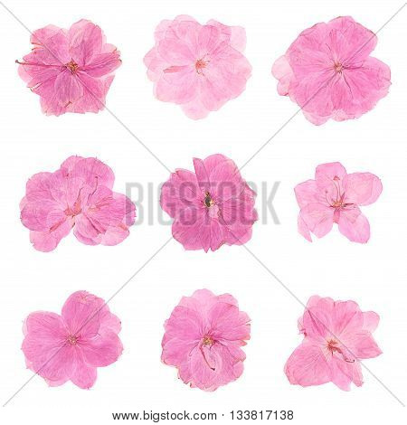 Set heads of dried pressed pink flowers isolated