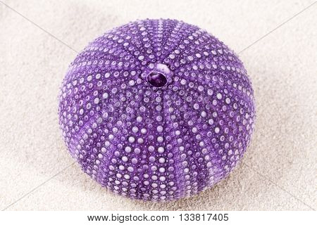 sea shell of violet sea urchin lying on the sand close up.