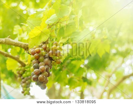 fresh grapes and leaves on vine in the farm soft light added