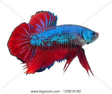beautiful siamese fighting fish on black people feed it as a pet in aquatic hobby